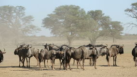 Blue wildebeest in dust stock video footage