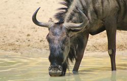 Blue Wildebeest - Eyes of a cow Stock Photo