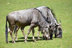 Blue wildebeest feeding Royalty Free Stock Photo