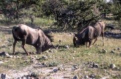 Blue wildebeest in Etosha National Park, Namibia. Blue wildebeest figh Cannochaetes taurinus in Etosha National Park, Namibia, Africa Royalty Free Stock Photo