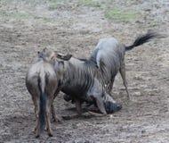 Blue wildebeest fighting stock photography
