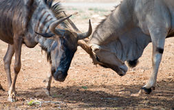 Blue wildebeest. Royalty Free Stock Images
