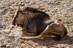 Blue Wildebeest or Gnu Royalty Free Stock Images