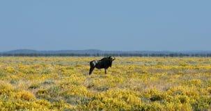 Blue Wildebeest Gnu in Etosha, Namibia Africa wildlife safari. Wild Blue Wildebeest Gnu in Etosha, yellow blooming desert after rain season. Namibia Africa stock video footage