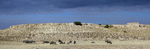Blue wildebeest or gnu grazing Stock Photo