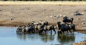 Blue wildebeest Gnu, Namibia Africa wildlife safari. Wild Blue wildebeest Gnu drinking from waterhole in Etosha, Namibia Africa wildlife safari. African scenery stock footage
