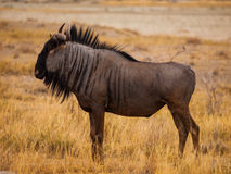 Blue wildebeest (gnu) Stock Image