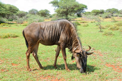 Blue Wildebeest grazing Royalty Free Stock Photo