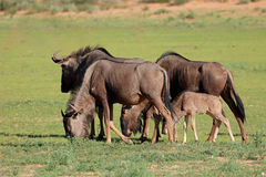 Blue wildebeest grazing Royalty Free Stock Photography
