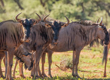 Blue Wildebeest group Stock Image