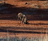Blue wildebeest dust bath Royalty Free Stock Photography
