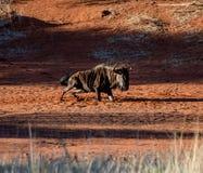 Blue wildebeest dust bath Royalty Free Stock Image