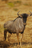 Blue Wildebeest Head On Royalty Free Stock Photo