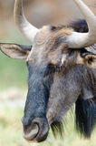 Blue Wildebeest head Royalty Free Stock Photo