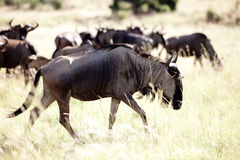 Blue Wildebeest herd Royalty Free Stock Photos