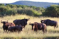Blue Wildebeest Herd Royalty Free Stock Image