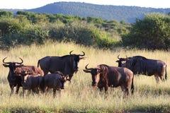 Blue Wildebeest Herd. Blue Wildebeest standing with grassy landscape in background Royalty Free Stock Image
