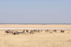Blue Wildebeest herd grazing Royalty Free Stock Image