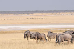 Blue Wildebeest herd grazing Royalty Free Stock Photo