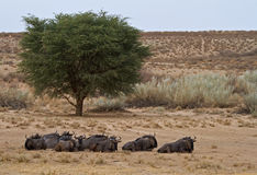 Blue Wildebeest herd in the Kalahari desert. A herd of blue wildebeest (brindled gnu) lying down in the Kalahari desert, South Africa stock image