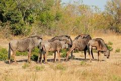 Blue wildebeest herd Stock Photos