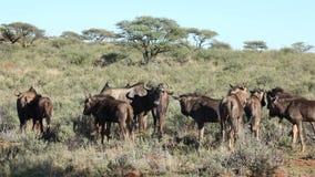 Blue wildebeest herd stock video footage