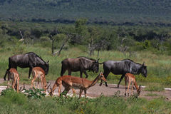 Blue Wildebeest and Impalas. Grazing  together in tall grass and woodland landscape Stock Photos