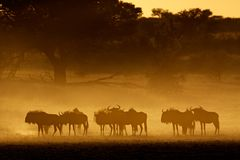 Blue Wildebeest In Dust, Kalahari Royalty Free Stock Photos