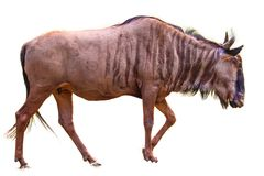 Blue Wildebeest isolated stock image
