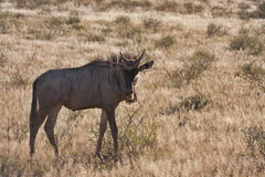 Blue Wildebeest in Kalahari Royalty Free Stock Photo