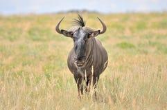 Blue Wildebeest Stock Photos