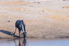 Blue Wildebeest kneeling and drinking from waterhole in daylight. Wildlife Safari in Etosha National Park, the main travel destina Stock Images