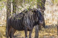 Blue Wildebeest, Kruger National Park Royalty Free Stock Photo