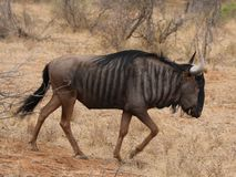 Blue Wildebeest in Kruger National Park, South Africa royalty free stock photos