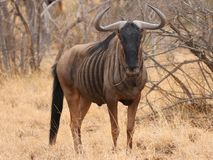 Blue Wildebeest in Kruger National Park, South Africa stock images