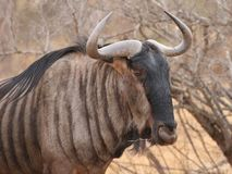 Blue Wildebeest in Kruger National Park, South Africa stock photos