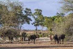 Blue wildebeest in Kruger National park, South Africa Stock Photo