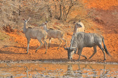 Blue Wildebeest and kudu Stock Photos