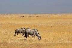 Blue wildebeest landscape Royalty Free Stock Photos