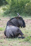 Blue Wildebeest. A Wildebeest laying in the heat Royalty Free Stock Photos