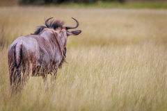 A Blue wildebeest looking around. Stock Photography
