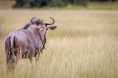 A Blue wildebeest looking around. Stock Photos