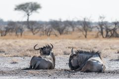 Blue Wildebeest lying down in the bush. Wildlife Safari in the Etosha National Park, famous travel destination in Namibia, Africa.  Royalty Free Stock Photography