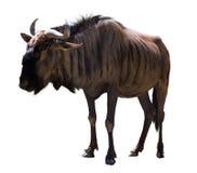 Blue wildebeest Stock Photography