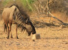 Blue Wildebeest - Mane flaring wild Royalty Free Stock Photography