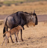 Blue Wildebeest mother with foal. A newborn Blue Wildebeest foal (Connochaetes taurinus) makes it's first steps on kenyan ground, ready to run for it´s life Stock Images