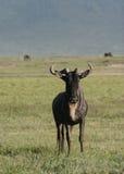 Blue Wildebeest Royalty Free Stock Photos