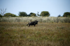 Blue Wildebeest Royalty Free Stock Photo
