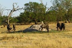 Blue Wildebeest on the open plains Stock Photos