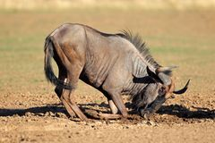 Blue wildebeest playing Royalty Free Stock Image